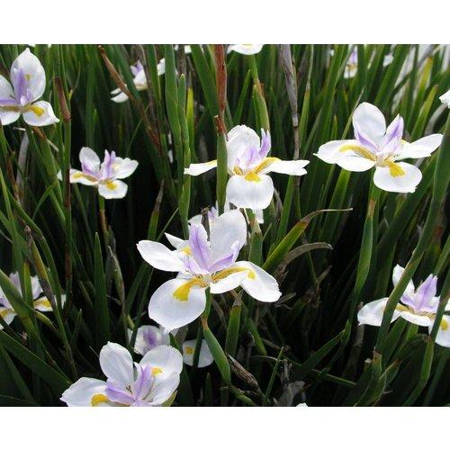 Bloemen-flowers Dietes grandiflora - Afrikaanse iris