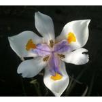 Bloemen-flowers Dietes grandiflora - African iris