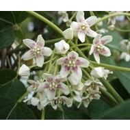 Bloemen-flowers Dregea sinensis - Wattakaka sinensis