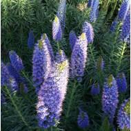 Bloemen-flowers Echium fastuosum - Slangenkruid - Pride of Madeira
