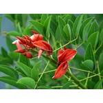 Bloemen-flowers Erythrina crista-galli - Coral bush - Coral tree
