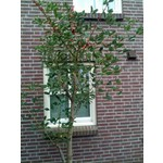 Bloemen-flowers Erythrina crista-galli - Koraalstruik - Koraalboom