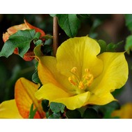 Bloemen-flowers Fremontodendron californicum