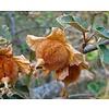 Bloemen-flowers Fremontodendron californicum - Flanelstruik