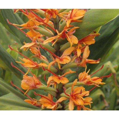 Bloemen-flowers Hedychium coccineum Tara - Gember
