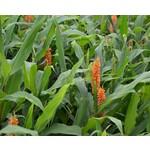Bloemen-flowers Hedychium coccineum Assam Orange - Gember