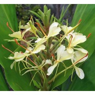 Bloemen-flowers Hedychium dixter - Ginger
