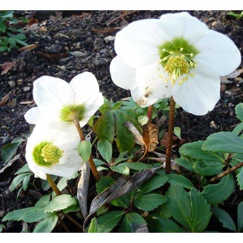 Bloemen-flowers Helleborus niger - Kerstroos