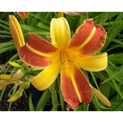 Bloemen-flowers Hemerocallis Frans Hals