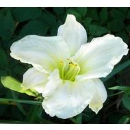 Bloemen-flowers Hemerocallis White Temptation - Daglelie