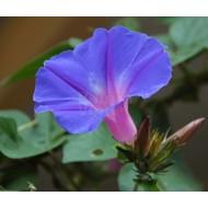 Bloemen-flowers Ipomoea learii