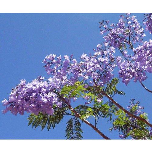 Bloemen-flowers Jacaranda mimosifolia
