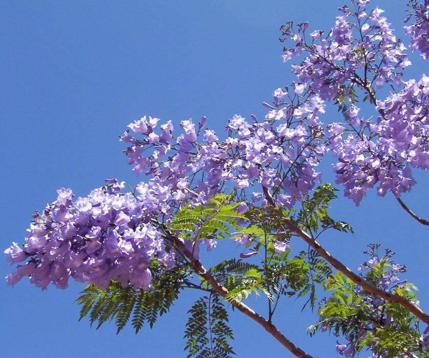 Boom Met Bloemen.Jacaranda Mimosifolia