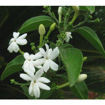 Bloemen-flowers Jasminum molle - Jasminum auriculatum