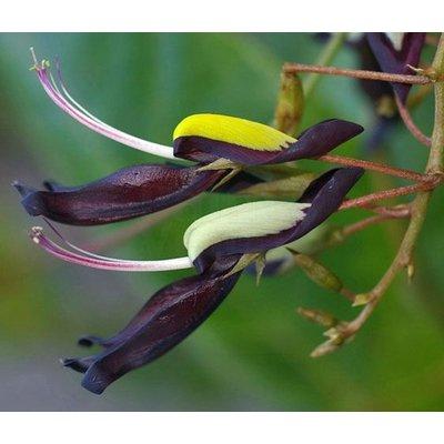 Bloemen-flowers Kennedia nigricans - Zwarte koraalboon - Black Coral Pea