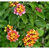 Bloemen-flowers Lantana camara
