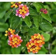Bloemen-flowers Lantana camara - Wisselbloem - Bourbontje - Verkleurbloem