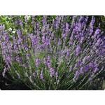 Bloemen-flowers Lavandula angustifolia Dwarf Blue - Lavendel