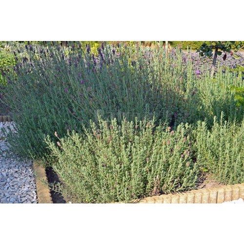Bloemen-flowers Lavandula angustifolia Hidcote - Lavendel