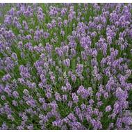 Bloemen-flowers Lavandula angustifolia Munstead - Lavender