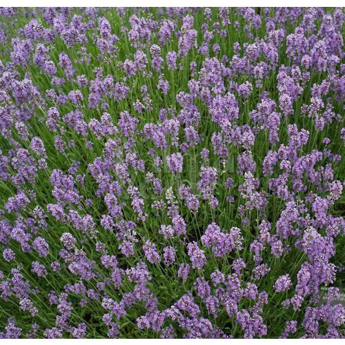 Bloemen-flowers Lavandula angustifolia Munstead - Lavendel