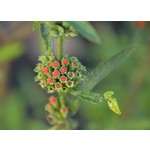 Bloemen-flowers Leonotis leonurus - Leeuwenoor