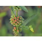 Bloemen-flowers Leonotis leonurus