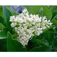 Bloemen-flowers Ligustrum japonicum Texanum - Liguster