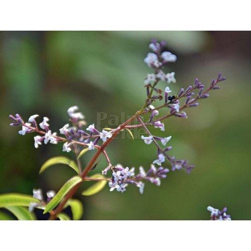 Bloemen-flowers Lippia citriodora - Lemon verbena
