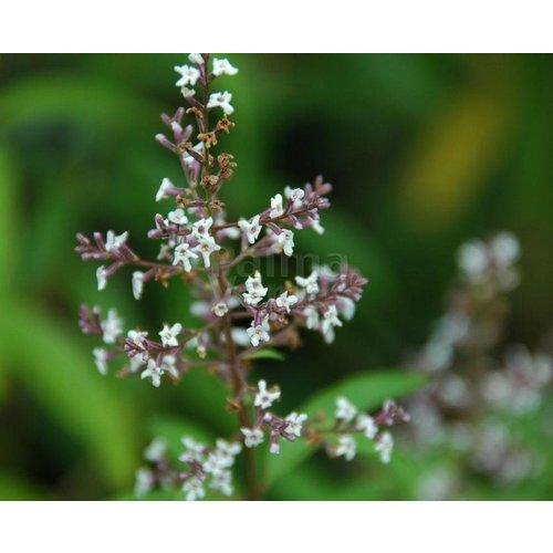Bloemen-flowers Lippia citriodora - Citroenverbena - Citroenstruik