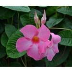Bloemen-flowers Mandevilla Alice du Pont