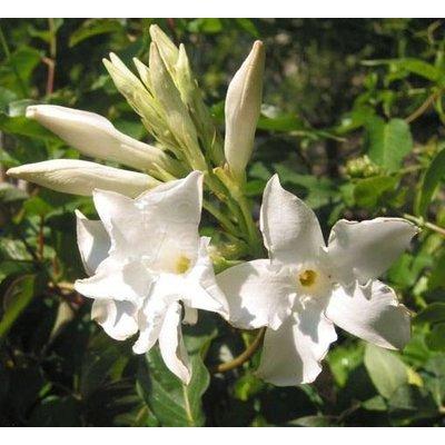 Bloemen-flowers Mandevilla Laxa Parfum - Chileense jasmijn