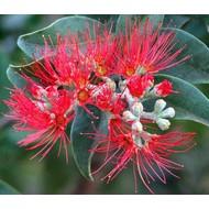 Bloemen-flowers Metrosideros thomasii - IJzerhoutboom