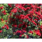 Bloemen-flowers Metrosideros thomasii