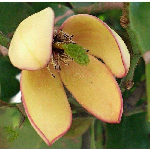 Bloemen-flowers Michelia figo - Bananenstruik