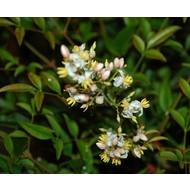 Blad-leaf Nandina domestica - Hemelse bamboe