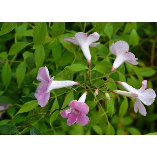 Bloemen-flowers Pandorea jasminoides - Trompetbloem