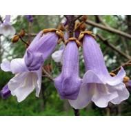Bloemen-flowers Paulownia tomentosa