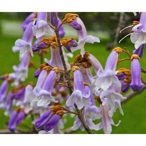 Bloemen-flowers Paulownia tomentosa - Keizersboom