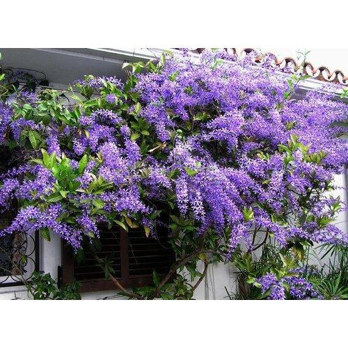 Bloemen-flowers Petrea volubilis - Flower of God