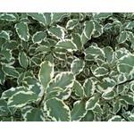 Bloemen-flowers Pittosporum tenuifolium Silver Queen - Kleefzaad