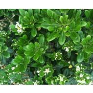 Bloemen-flowers Pittosporum tobira - Kleefzaad