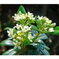 Bloemen-flowers Pittosporum tobira Nana - Kleefzaad