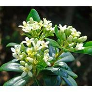Bloemen-flowers Pittosporum tobira Nana