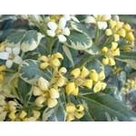 Bloemen-flowers Pittosporum tobira Variegata
