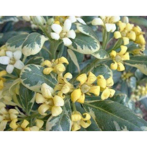 Bloemen-flowers Pittosporum tobira Variegata - Kleefzaad