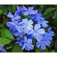 Bloemen-flowers Plumbago auriculata