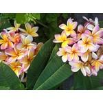 Bloemen-flowers Plumeria rubra California Sunset - Frangipani - Tempelboom