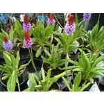 Bloemen-flowers Primula vialii - Kaboutermuts