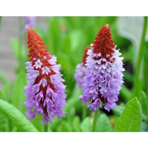 Bloemen-flowers Primula vialii - Leprechaun hat
